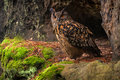 Owl in the rock is hidden predator Royalty Free Stock Image