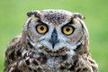 Owl staring Royalty Free Stock Photo