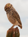 Owl with a tilted head