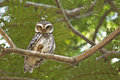 Owlet on perch Royalty Free Stock Photos