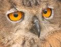 Owls eyes !! Royalty Free Stock Photo