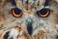 Owls Portrait. owl eyes Royalty Free Stock Photo