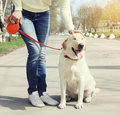 Owner and happy labrador retriever dog outdoors walking Royalty Free Stock Photo