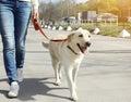 Owner and labrador retriever dog walking