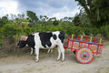 Ox cart and cows on coffee plantation in costa rica travel tourists who to vacation or holiday will most likely see the colorful Royalty Free Stock Photography