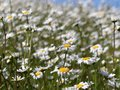Ox-eye daisies Leucanthemum vulgare with blurred background