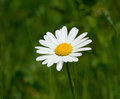 Ox-eye Daisy Stock Images