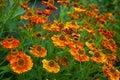 Ox-eye pomarańczowa stokrotka Zdjęcia Royalty Free