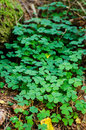 Oxalis acetosella common wood sorrel group in the forest Royalty Free Stock Photography