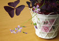 Oxalis triangularis - ornamental potted plant Stock Photography