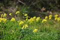 Oxalis Weed, Killer of the lawn, Yellow flowers Royalty Free Stock Photo