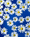 Oxeye Daisy Royalty Free Stock Images