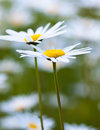 Oxeye daisy Royalty Free Stock Photo