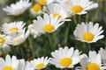 Oxeye daisy close up shot of daisies in the field Royalty Free Stock Photo