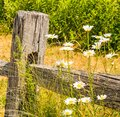 Oxeye Daisy and wooden fence post Royalty Free Stock Photo