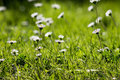 Oxeye oxeyes in the sun on a summer day Royalty Free Stock Photography
