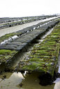 Oyster beds Stock Image