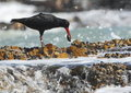 Oyster catcher Royalty Free Stock Photo