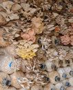 Oyster mushroom cultivation of pleurotus djamor abalone sajor caju and citrinopileatus in spawn bags Stock Image