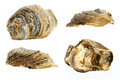 Oyster shell fossil, white background Royalty Free Stock Photo
