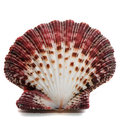 Oyster shell red macro close up on white background Royalty Free Stock Images