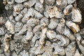 Oyster shell stone wall Royalty Free Stock Photo