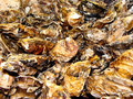 Oyster shells Royalty Free Stock Images
