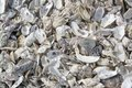 Oyster shells lots of seen in cancale brittany france Royalty Free Stock Photos