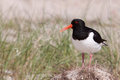 Oystercatcher in a field Royalty Free Stock Photos