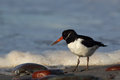 Oystercatcher (Haematopus ostralegus) Royalty Free Stock Photography