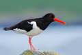 Oystercatcher, Heamatopus ostralegus, water bird in the wave, with open red bill,Norway. Bird sitting on the yellow lichen stone. Royalty Free Stock Photo