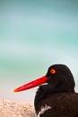 Oystercathcher shore bird in the galapagos islands closeup of an ecuador Stock Photography