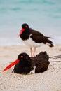 Oystercathcher shore bird in the galapagos islands ecuador Stock Photos