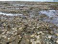 Oysters and barnacles on beach rocks at low tide Royalty Free Stock Photo