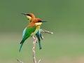 Pájaro abeja comedores castaña dirigidos tailandia Fotografía de archivo libre de regalías