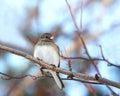 Pájaro eyed oscuro del junco Imagenes de archivo