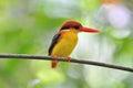 Pájaro negro y rojo amarillo (martín pescador movido hacia atrás negro Imágenes de archivo libres de regalías