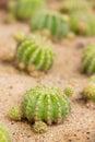 Páscoa lily cactus Fotografia de Stock Royalty Free
