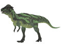 Pachycephalosaurus on white dinosaur was a bipedal omnivore with an extremely thick skull roof and existed in the cretaceous Stock Photography