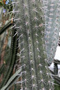 Pachycereus pringlei is a species of cactus that is native to northwestern mexico Royalty Free Stock Images