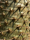 Pachypodium lamerei 免版税图库摄影