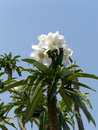 Pachypodium lamerei against the sky Royalty Free Stock Images