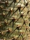 Pachypodium lamerei closeup shot of Royalty Free Stock Photography