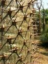Pachypodium lamerei closeup shot of Stock Image