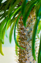 Pachypodium Madagascar palm Royalty Free Stock Photo