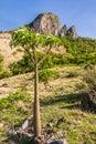 Pachypodium Royalty Free Stock Photo