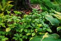 Pachysandra terminalis Green Carpet planted in shady garden with hostas. Royalty Free Stock Photo