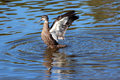 Pacific black duck flapping its strong wings after a swim in the blue lake.