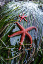 Pacific blood sea stars a pair of cling to seaweed in a tide pool found along the olympic peninsula in washington state these Royalty Free Stock Photos