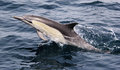 Pacific common dolphin a long beaked in the ocean near san diego Stock Image